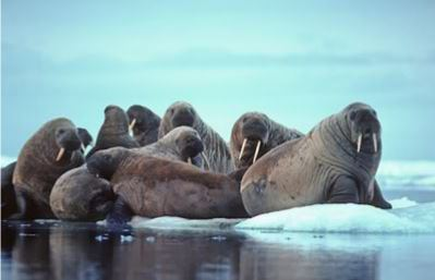 WWF Russia has started fundraising campaign for the study of Atlantic walrus at Nenets Autonomous Area